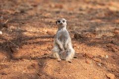 Weibliches meerkat oder suricate, Suricata suricatta Stockbild
