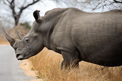 Weibliches Nashorn Lizenzfreie Stockfotos
