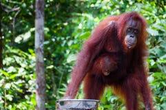 Weibliches Orang-Utan Utang mit Baby im Dschungel von Borneo Stockbilder