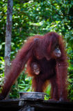 Weibliches Orang-Utan Utang mit Baby im Dschungel von Borneo Lizenzfreies Stockbild