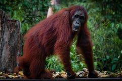 Weibliches Orangutang, das in den Dschungel geht Lizenzfreies Stockfoto