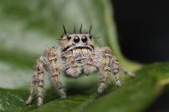 Weibliches Phidippus-putnami springende Spinne Lizenzfreie Stockfotografie