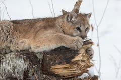 Weibliches Puma-Puma concolor kratzt am Klotz lizenzfreies stockfoto