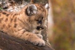 Weibliches Puma-Kätzchen u. x28; Puma concolor& x29; Schaut unten vom Baum Stockbilder