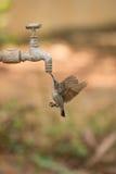 Weibliches purpurrotes sunbird, das Hahn vom im Freien trinkt Stockbild