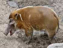 Weibliches Red River Schwein Lizenzfreies Stockfoto