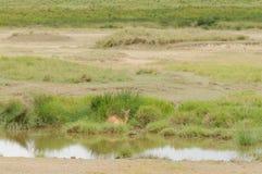 Weibliches Reedbuck, das durch Strom stillsteht Stockfoto