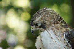 Weibliches Rot angebundener Hawk Looking für das Mittagessen Stockbilder