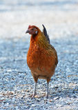 Weibliches roter Dschungel-Geflügel lizenzfreies stockfoto