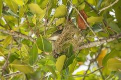 Weibliches rotes fody Herstellungsnest, Seychellen- und Madagaskar-Vogel lizenzfreie stockbilder