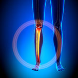 Weibliches Schienbein/Wadenbein - Anatomie-Knochen stock abbildung