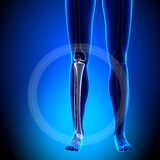 Weibliches Schienbein/Wadenbein - Anatomie-Knochen lizenzfreie abbildung