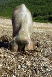 Weibliches Schwein, das nach Nahrung sucht Stockfoto