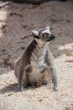 Weibliches Sitzen Lemurm aus den Grund Lizenzfreies Stockbild