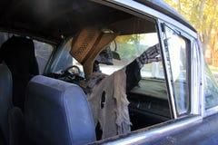 Weibliches Skelett im Leichenwagen Stockfotografie