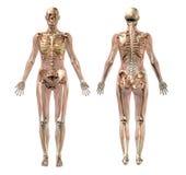 Weibliches Skelett mit den transparenten Muskeln - mit Ausschnittspfad Stockfotografie