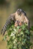 Weibliches sparrowhawk mit Opfer stockbilder