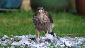 Weibliches Sparrowhawk mit Tötung Das sparrowhawk, ist ein kleiner Raubvogel im Familie Accipitridae stock video footage