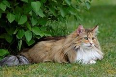 Weibliches Stillstehen der norwegischen Waldkatze im Garten Stockfoto