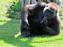 Weibliches Tiefland-Gorilla-Essen Lizenzfreies Stockfoto