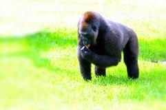 Weibliches Tiefland-Gorilla-Essen Lizenzfreies Stockbild