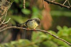 Weibliches tomtit, Südinselunterart, gebürtiger Neuseeland-Vogel, der im Baum auf Täuschungs-Hügel sitzt stockbild