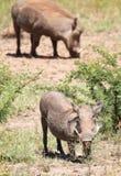 Weibliches warthog auf Knien Lizenzfreie Stockbilder