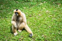 Weibliches Weiß cheeked Gibbon Lizenzfreie Stockfotos