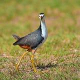 Weißbrust-Kielralle-Vogel Stockfoto