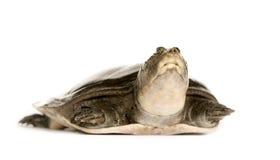 Weich-Shell Schildkröten - Familie: Trionychidae Stockbilder