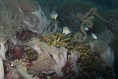 Weich, stark und Peitschenkorallen in Balicasad-Insel Lizenzfreies Stockbild