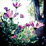 Weiche Fokusgänseblümchen Stockfotos