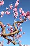 Weiche fokussierte Kirschblumen, Frühling Lizenzfreie Stockfotografie