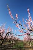 Weiche fokussierte Kirschblumen, Frühling Lizenzfreie Stockbilder