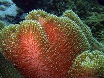 Weiche Koralle Lizenzfreie Stockfotos