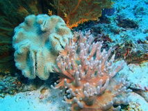 Weiche Koralle Lizenzfreies Stockfoto