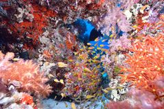 Weiche Koralle und Fische lizenzfreies stockfoto