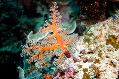 Weiche Korallen Stockfotos