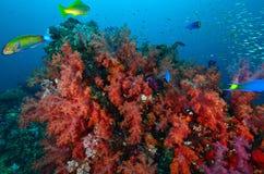 Weiche korallenrote Kolonie, Similan-Insel Lizenzfreie Stockfotos