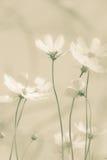 Weiche Kosmosblumen lizenzfreie stockfotos