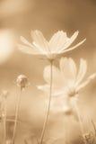Weiche Kosmosblumen stockbilder