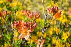 Weiche orange Blumen blüht im Frühjahr auf einem grünen Hintergrund stockfotos