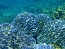 Weiche purpurrote Koralle Stockfotografie