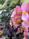 Weiche rosa Blumen Stockbild