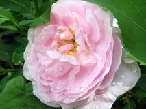 Weiche rosa Rose mit Perlen stockfoto