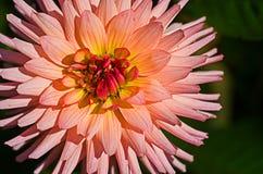Weiche rosafarbene Dahlie stockfotografie