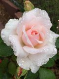 Weiche rosafarbene Rose stockfotografie
