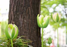 Weiche rosafarbene Tulpen lizenzfreies stockfoto