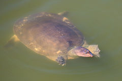 Weiche Shell-Schildkröte Lizenzfreie Stockfotografie