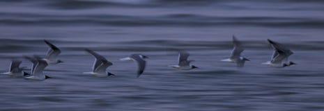 Weiche Szene des Laufens von Seemöwen mit Blau bewegt in den Hintergrund wellenartig Lizenzfreies Stockbild